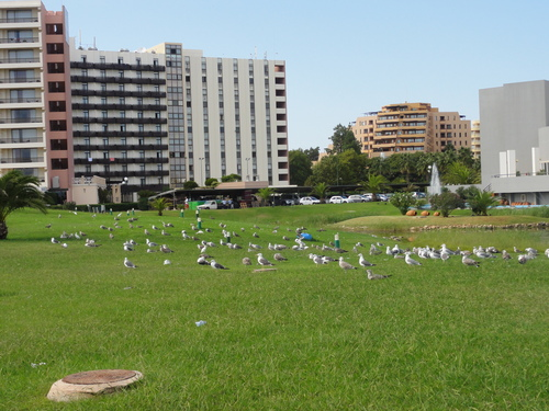 Vilamoura, resting sea gulls