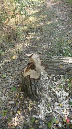 Wildau, Rohrwiesen, Beaver traces